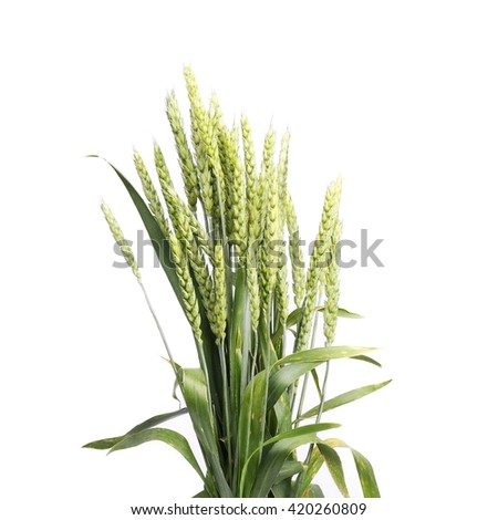 Green wheat isolated on white background