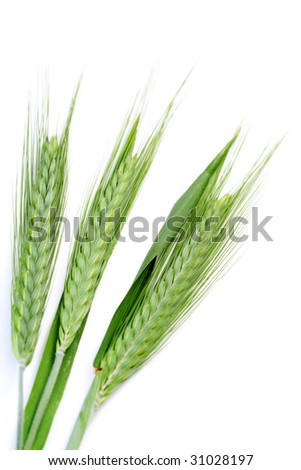 green wheat isolated on white - spring time - stock photo