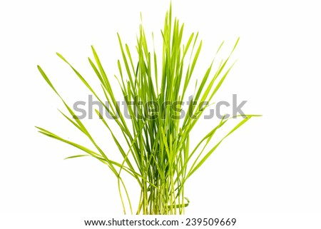 Green wheat on a white background - stock photo
