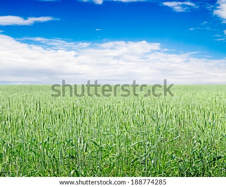 Green wheat on background sky with clouds