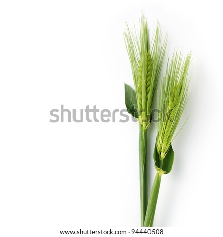 Green wheat on white background - stock photo