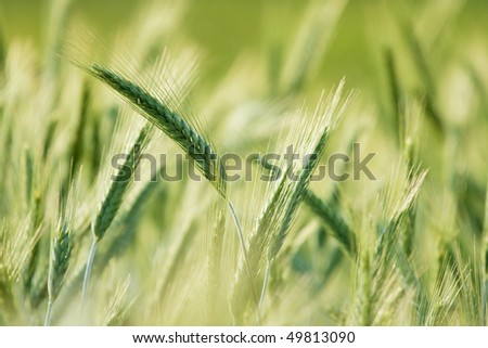 Green wheat plants growing on a field, bright background - stock photo