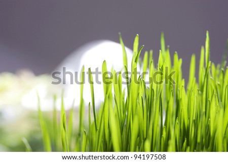 Green wheat shoots. Selective focus.