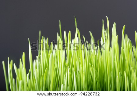 Green wheat shoots. Selective focus. Space for text.