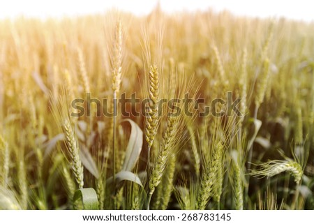 green wheat spike - stock photo