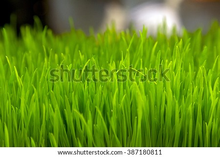 Green wheat sprouts. Green grass close-up - stock photo