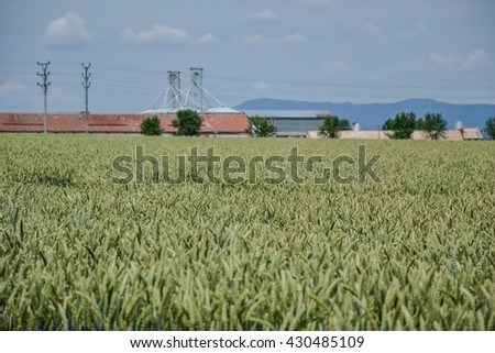 Green wheat (Triticum) field on blue sky in summer. Close up of unripe wheat ears. Field near silos, agricultural storage tanks - stock photo