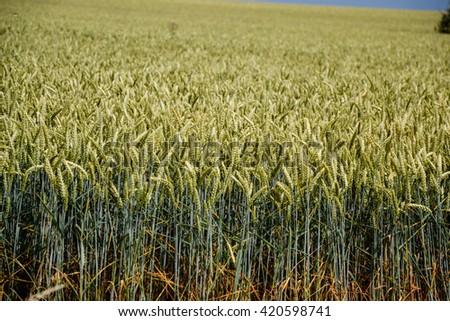 Green wheat (Triticum) field on blue sky in summer. Close up of unripe wheat ears. Slovakia - stock photo