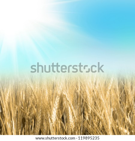 green wheat under sunrays - stock photo