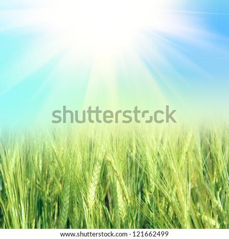 green wheat under sunrays - stock photo