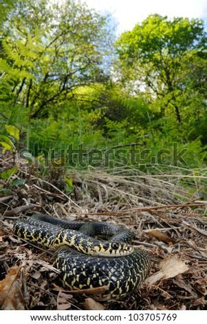 Green Whip Snake (Hierophis viridiflavus) in its habitat - stock photo
