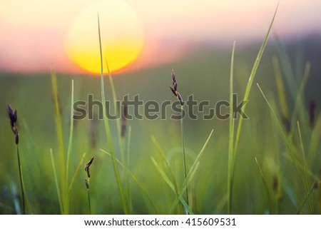 green wild grass in summer field on natural yellow sunrise background. Outdoor fresh photo in countryside