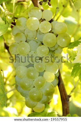 Green wine grapes at a vineyard in France