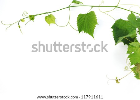 green wine leaves - stock photo