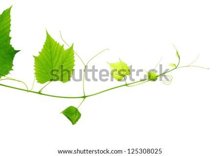 green wine leaves - stock photo