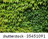 green wine leaves climbing up a wall - stock photo
