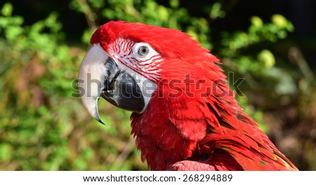 Green Wing Macaw  8 months old - stock photo