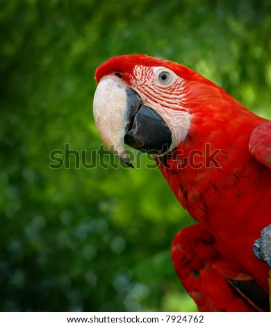 Green wing macaw or parrot bird on green tree background