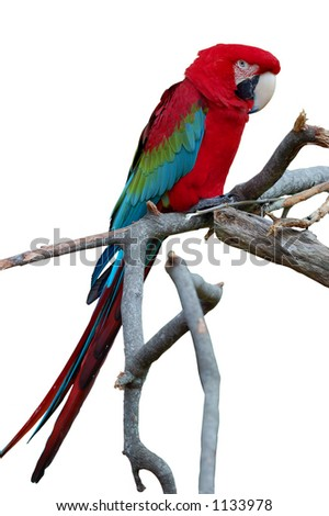 Green winged macaw - stock photo