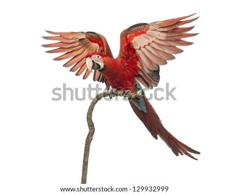 Green-winged Macaw, Ara chloropterus, 1 year old, perched on branch with its wings spread in front of white background
