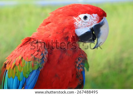 green-winged macaw,colourful bird - stock photo