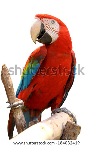 Green-winged Macaw on tree branches isolate on white background.