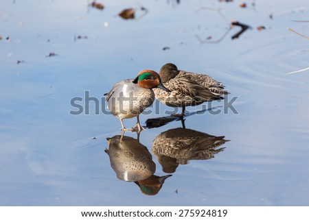 Green-winged Teal in burnaby lake bc  - stock photo