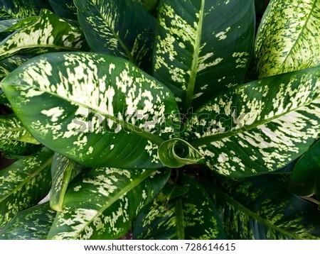 Dieffenbachia stock images royalty free images vectors for Planta ornamental venenosa dieffenbachia
