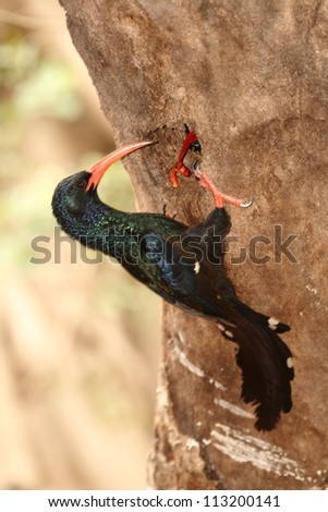 Green Wood Hoopoe feeding a worm at the nest. - stock photo