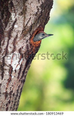 Green woodpecker (Picus viridis) chick protruding out of its nest hole in a tree trunk - stock photo