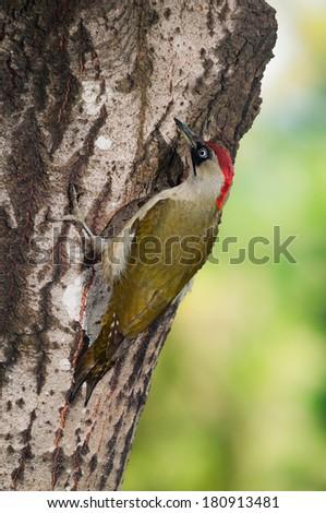 Green woodpecker (Picus viridis) female on a tree trunk - stock photo