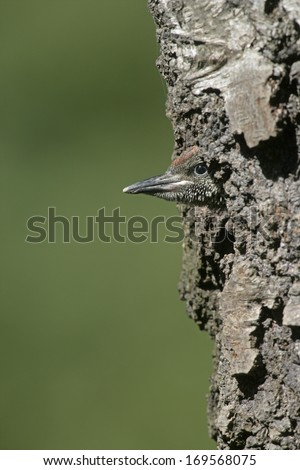 Green woodpecker, Picus viridis, single bird at nest, Staffordshire                  - stock photo