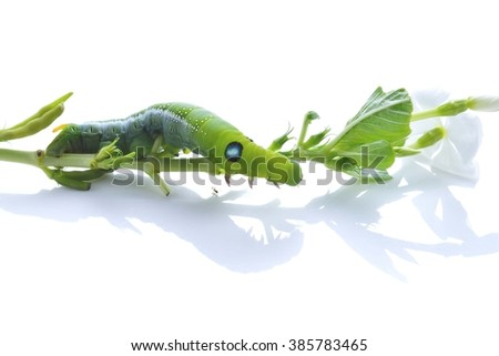 Green Worm the caterpillars on green leaf and white  flower and stems of plants.isolated on white background  - stock photo