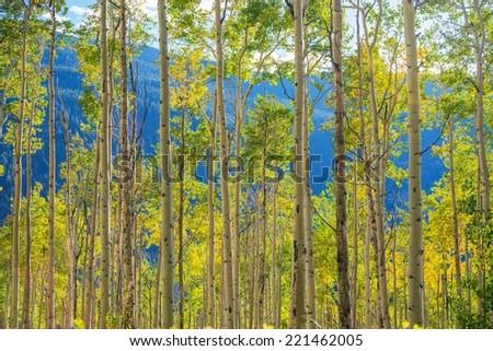 Green Yellow Aspen Trees Scenery near Aspen, Colorado, United States. Autumn in the Colorado. - stock photo
