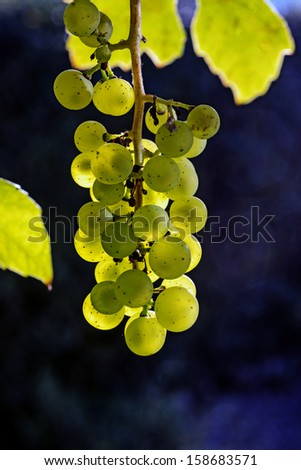 Green-Yellow grapes outdoors in the vineyard  - stock photo