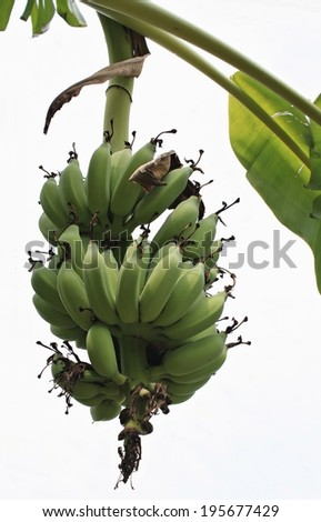 Green young Bananas on a tree, Thailand - stock photo