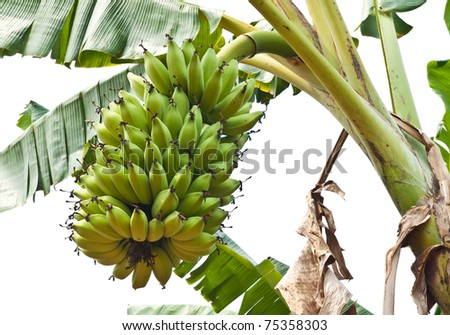Green young Bananas on a tree, Thailand. - stock photo