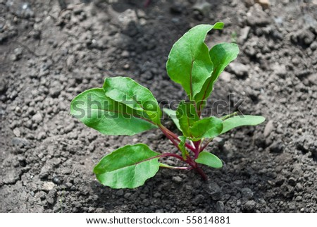 Green young beet sprout - stock photo