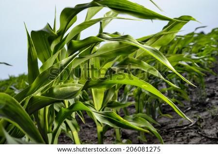Green young corn closeup on field - stock photo