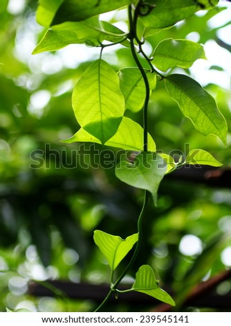 green young creeping plant, climber, typical tropical jungle plant with green leaves under sunlight with beautiful bokeh background - stock photo