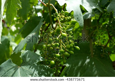 Green young grapes. Lydia - stock photo