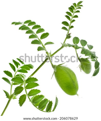 Green young pea plant sprouts isolated on white background - stock photo