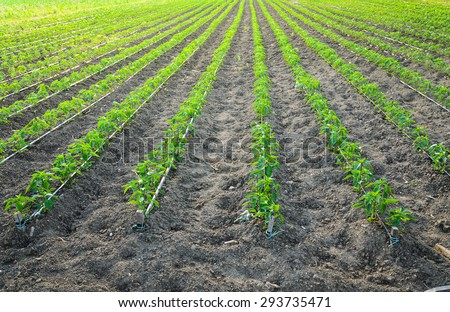 Green young peppers growing in a field  with irrigation system