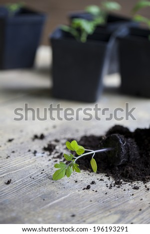 green, young seedling tomatoes - stock photo