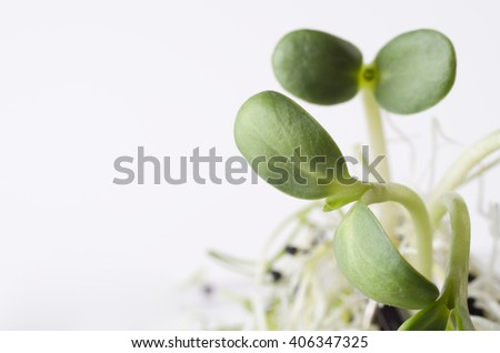 green young sunflower sprouts