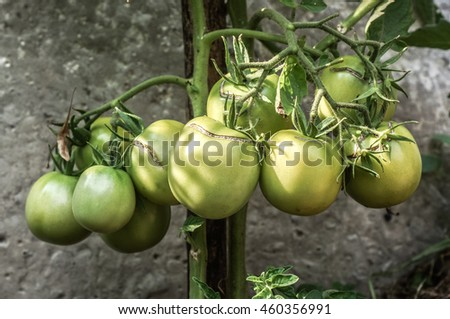 Green young tomatoes on tomatoes' branch with green leaves against wooden plank and green leaves in sunshine and shadow