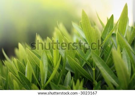 Greenery close-up, shallow dof. - stock photo