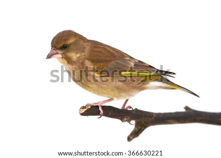 Greenfinch (Carduelis chloris) resting on a branch isolated on a white background