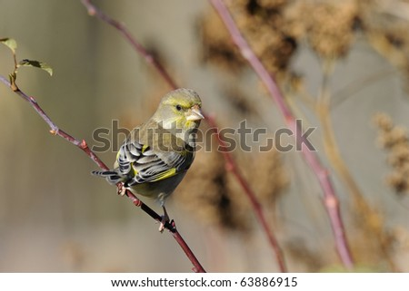 greenfinch, carduelis  cloris