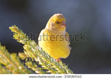 Greenfinch (Chloris chloris) is a small passerine bird in the finch family. - stock photo